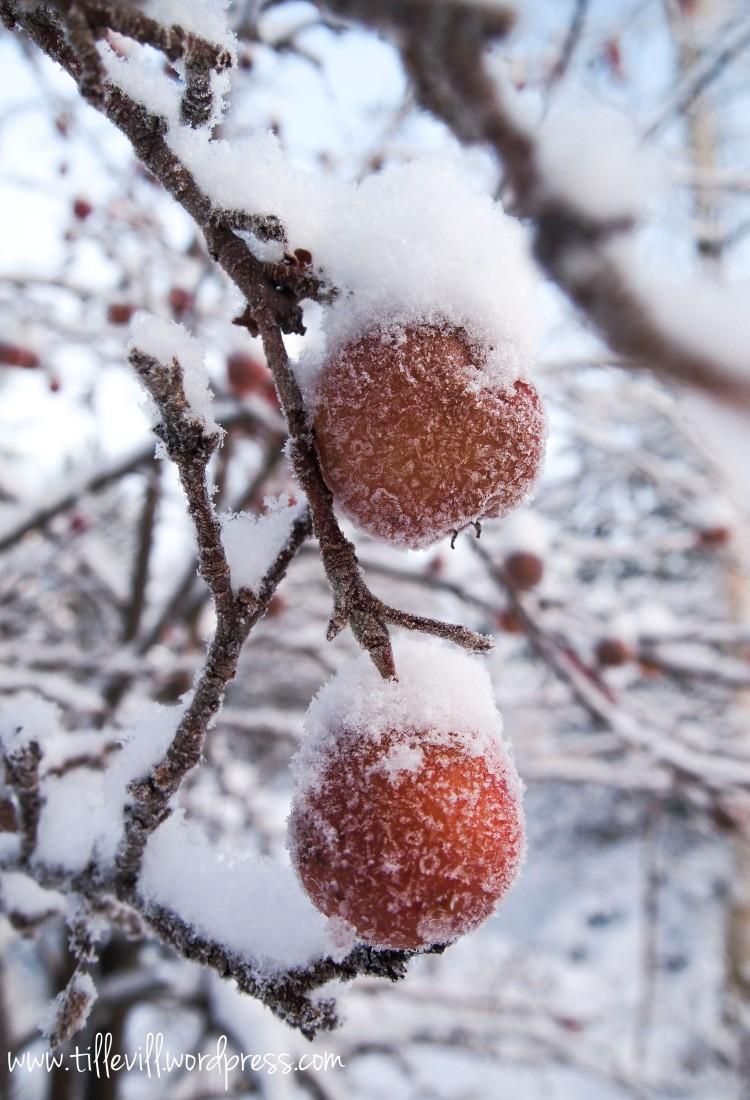 vinteräpplen