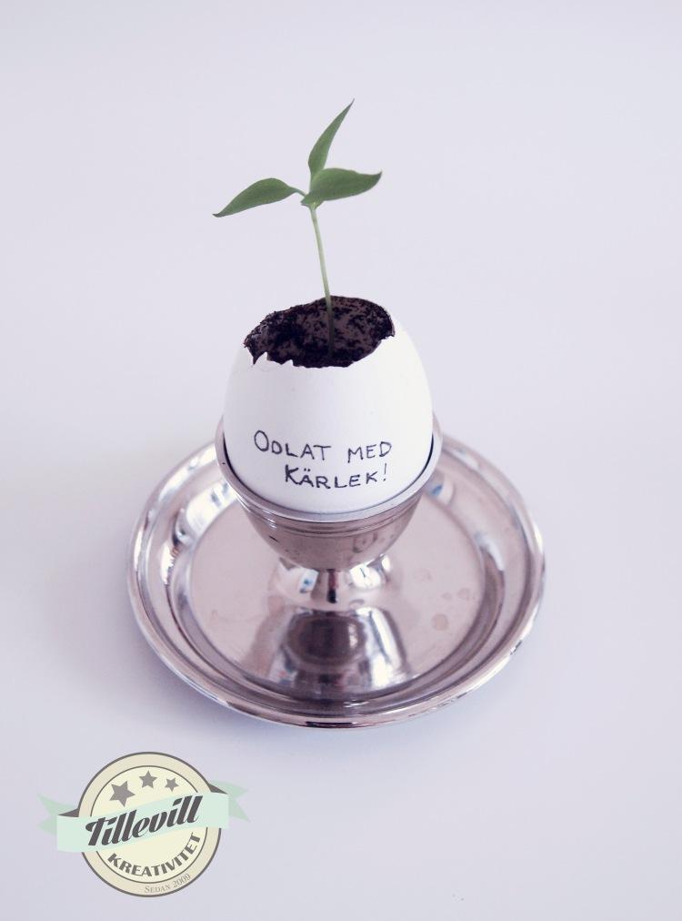 plantera i ägg