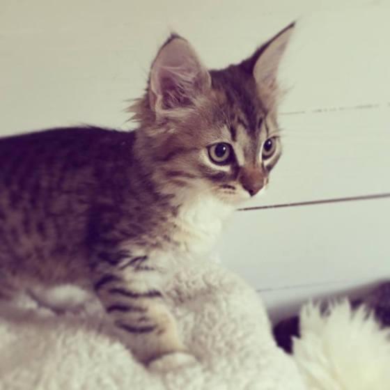 Sally - halv sibirisk katt